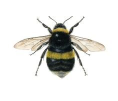 I want bees like this in black and white woodcut on the backs of my arms right above my elbows.