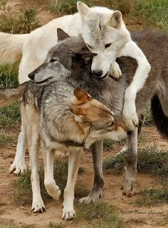Animals free and happy Beautiful Wolves, Animals Beautiful, Cute Animals, Wild Animals, Beautiful Beautiful, Baby Animals, Wolf Spirit, Spirit Animal, Wolf World