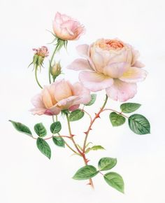 Tamora Rose by Karen Kluglein