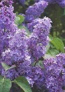 lilacs - my favorite flowers