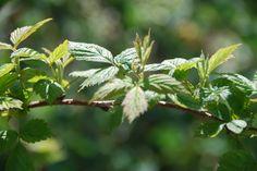 amora (planta)
