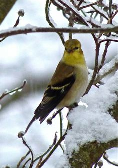 American Goldfinch in it's winter colors Ruby Throated Hummingbird, Goldfinch, Pretty Birds, Winter Colors, Sea Creatures, Bird Houses, Cute Animals, American, Feathers
