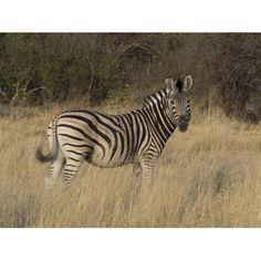 Zebra standing in a forest Okavango Delta Ngamiland Botswana Canvas Art - Panoramic Images (12 x 16)