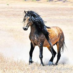 The king of kiger mustang sires, Mesteno himself.