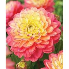 """Dahlia Melody Allegro 10 bulbs / Decorative Dahlia with vibrant salmon orange flowers with yellow centers. Bloom Time: Aug - Frost / Hardiness Zone: 8 - 10 / Height: 24"""" / Color: Orange / Light Requirements: Sun"""