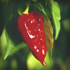 "Dorset Naga. 544,000 - 1,221,000 Scoville Units. The scorching heat of the fruit is combined with a distinctive fruity aroma, making this a truly exceptional chile. Fruits ripen from green to red, and may be harvested at either stage of maturity. Typically about  1"" x 2"" in size (30 x 50mm). May be smaller when grown in pots."