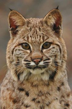 These Are 15 Pictures About Cat Breeds pixie-bob Crazy Cats, Big Cats, Cats And Kittens, Cute Cats, Beautiful Cats, Animals Beautiful, Lynx Boréal, Dog Cat, Leopards