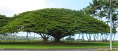 There are a number of reasons why it is called the rain tree. Description from gardenguyhawaii.com. I searched for this on…