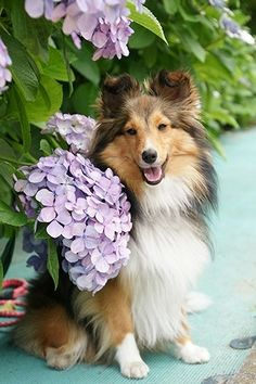 The Shetland Sheepdog originated in the and its ancestors were from Scotland, which worked as herding dogs. These early dogs were fairly Beautiful Dogs, Animals Beautiful, Cute Animals, Rough Collie, Collie Dog, Pet Dogs, Dogs And Puppies, Cute Puppies, Shetland Sheepdog Puppies