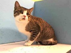 2 year old Stitch needs out of NYCACC NOW!!! TO BE DESTROYED 6/10/13 Manhattan Center  My name is STITCH. My Animal ID # is A0966431. I am a neutered male br tiger and white domestic sh mix. The shelter thinks I am about 2 YEARS old.  I came in the shelter as a OWNER SUR on 05/25/2013 from NY 10469, owner surrender reason stated was TOO HYPER.