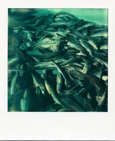 Pêche du jour / #Marseille #polaroid #mer #poissons #VieuxPort / www.marseillepolaroid2013.com