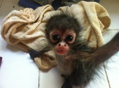 This is a baby spider monkey!