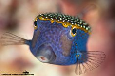 """Spotted boxfish in Thailand """"Fish in a Box"""" by Christian Loader"""