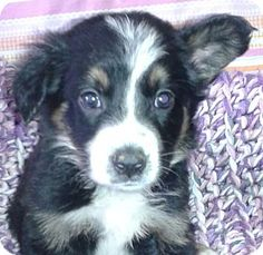 Los Angeles, CA - Border Collie/Australian Shepherd Mix. Meet Buttercup, a puppy for adoption. http://www.adoptapet.com/pet/13297709-los-angeles-california-border-collie-mix