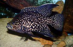 Paratilapia bleekeri Tropical Freshwater Fish, Freshwater Aquarium Fish, Tropical Fish, Scary Fish, Parrot Fish, Aquarium Filter, Paludarium, African Cichlids, Colorful Fish