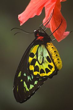 The Cairns Birdwing (Ornithoptera euphorion) is a species of birdwing butterfly endemic to northeastern Australia, and is Australia's largest endemic butterfly species. Other common names include Cooktown Birdwing and Northern Birdwing.[1] The name Cairns in its common name is a reference to the Queensland, Australia city in the region where this butterfly is found.