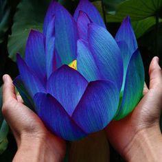 Plantas Semillas de plantas Acuáticas de Agua semillas de flor de Loto Azul Medianoche Azul Lotus 10 unids AA