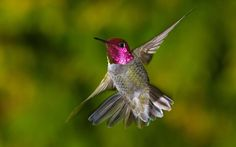 HQ RES hummingbird image, 416 kB - Mildred Young