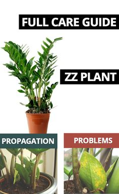 A ZZ Plant otherwise known as Zamioculcas Zamiifolia is a really easy houseplant to have around. Our step by step guide will show you how to get an attractive stylish plant with glossy leaves. ZZ Plant Propagation is easy too