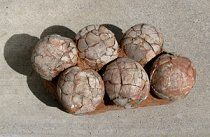 View Therizinosaurus sp. (Segnosaur Egg Nest) Dinosaur Eggs, Dinosaur Bones, Dinosaur Fossils, Fossil Hunting, Egg Nest, Prehistoric Animals, Ammonite, Rock Crafts, Ancient Aliens