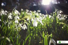 Snowdrops, Gloucestershire Photographs, Plants, Photos, Photograph, Flora, Plant, Fotografie, Planting, Cake Smash Pictures