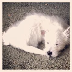 #westie #puppy  fell asleep after he caught his tail!