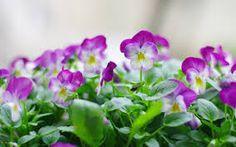 Resultado de imagem para amor perfeito flor