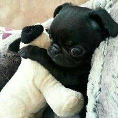 """This is me; this is me on Sunday. Any questions?""  #Cuteness @ www.jointhepugs.com  #PugPower #PugLife #blackpug"