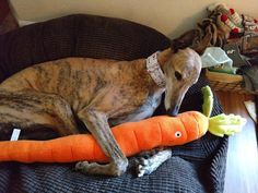Brisket has got himself a carrot and isn't letting go.