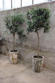 Olivträd.
