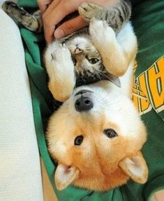 Not that I'm trying to prove a point... [Best of both worlds? Yes, please! | 27 Reasons Shibas Are The Best DogsEver]