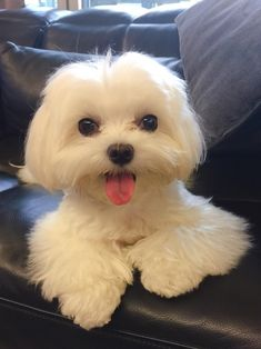 Everything About The Smart Havanese Pups Health Havanese Puppies, Teacup Puppies, Maltese Dogs, Cute Puppies, Dogs And Puppies, Happy Animals, Cute Baby Animals, Animals And Pets, Pet Dogs
