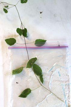 Reproduccion asexual de las plantas por esquejes de pelargonium