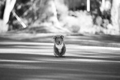 Even when centered in black and white, this koala can't help but be cute. Photo was taken in #Australia and is the Y! Travel Photo of the Week.