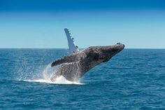 Queensland's coastline becomes a playground for humpback whales as they migrate from the Great Barrier Reef to the Southern Ocean. And boy do these giants like to play Survival Books, Survival Gear, Survival Skills, Survival Prepping, Bareboat Charter, Australian Holidays, The Whitsundays, Australian Animals, Humpback Whale