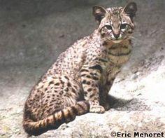 Petit félin d'Amérique du Sud - chat de Geoffroy (classé quasi menacé depuis 2002).