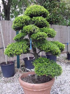 Ilex Crenata Japanese Cloud Tree