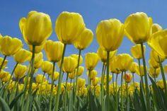 Plantas con flores amarillas para la suerte: Los tulipanes