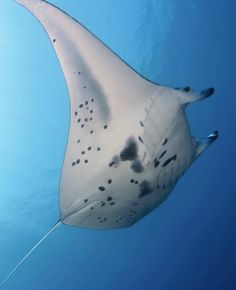 Last weekend, I checked something incredible off of my bucket list. I hovered mere inches above a 12-foot feeding manta ray in an otherwise pitch-black ocean at night. It sounds crazy—and maybe it is—but these encounters, offered nightly by dozens of operators in the Kailua-Kona are very safe and very popular. An estimated 80,000 people suit up and slip into the sea after dark to spot the filter-feeding shark relatives doing their majestic underwater flips.