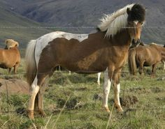 Icelandic horses have a long and well documented breeding history in part due to their isolated and remote location. Known for their hardy and athletic build and happy nature these horses exhibit 5 different gaits and possess one of the purest bloodlines around.
