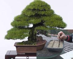 Como fazer Bonsai a partir de semente