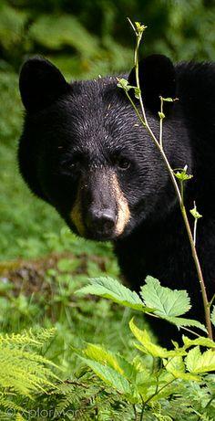 Black Bear_Alaska Expedition_2012 by XplorMor, via Flickr