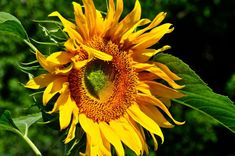 Sunflower Seeds Giant Mammoth The Grand Daddy of all Sunflowers 25 Seeds Golden Flower, Annual Flowers, Carnivorous Plants, Sunflower Seeds, Girl Blog, Just Smile, Sunflowers, Compost, Perennials