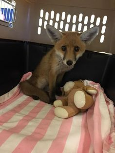 Little Injured Fox Drags His Legs To Man Who Can Help Him. Finn the fox was not giving up.  Even though he was in a ditch. And could barely walk. There was a man up ahead, and Finn was determined to drag himself toward him.