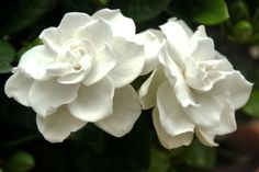 Gardenias are admired for their glossy green foliage and fragrant blossoms. However, gardenias are particular about their growing conditions and require ...