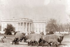 White House Facts-Why did President Woodrow Wilson keep a flock of sheep on the White House lawn? Sheep grazing on the South Lawn of the White House, c. Library of Congress ← previous pinner odd fact. Us History, American History, American Presidents, Asian History, Strange History, History Class, History Memes, Tudor History, British History