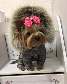 Yorkshire Terrier – Energetic and Affectionate Baby Animals Super Cute, Cute Little Animals, Cute Funny Animals, Cute Little Puppies, Cute Dogs And Puppies, Corgi Puppies, Baby Animals Pictures, Cute Animal Pictures, Teacup Yorkie