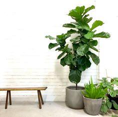 Ficus Lyrata (fiddler leaf fig) - Great Indoor / Outdoor Plant.. useful plant fiddle leaf fig
