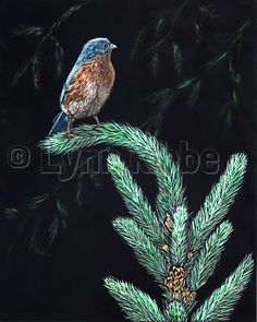 Bluebird on Spruce, scratchboard (available)