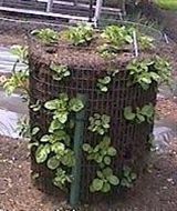 Potato garden - Click image to find more Gardening Pinterest pins